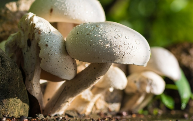 A Beneficial Fungus - The Mushroom