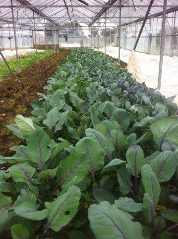 Red spring greens in a polytunnel